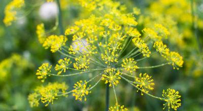 6 benefícios incríveis do óleo essencial de erva-doce