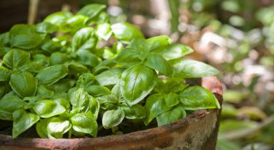 12 benefícios do manjericão que você precisa conhecer