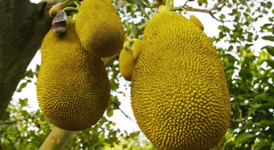 Jaca: veja os benefícios e as formas de consumo dessa superfruta