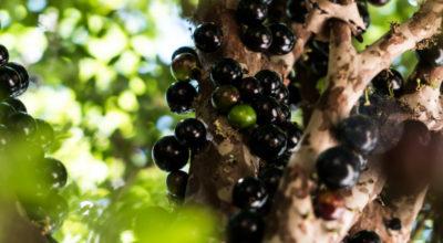 Jabuticaba: conheça os benefícios dessa fruta legitimamente brasileira