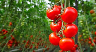 Tomate: 11 benefícios desse fruto que mais parece um vegetal