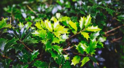"""Espinheira-santa: conheça 5 benefícios desse """"santo remédio"""""""