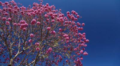 Ipê-roxo: conheça 6 benefícios da planta que vão além da beleza das flores