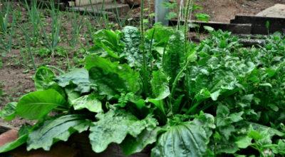 Tanchagem: conheça os benefícios dessa poderosa planta medicinal