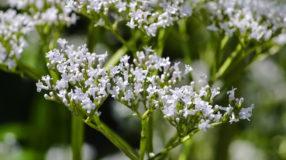 Valeriana: 5 benefícios milagrosos para incorporá-la na rotina