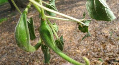 Garra do diabo: conheça essa poderosa erva anti-inflamatória