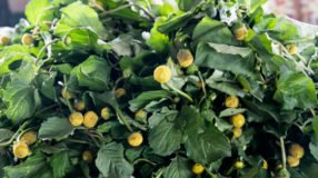 Jambu: a planta paraense que trata dor de dente e outros problemas de saúde